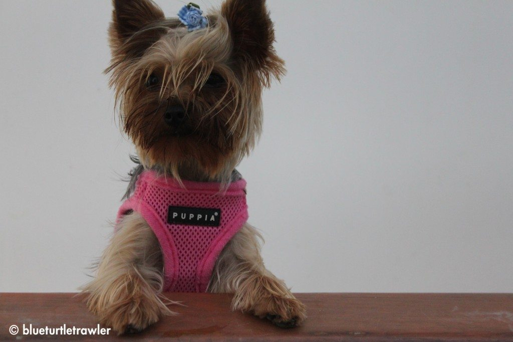 Cailee, my parent's yorkie, peeps her head out to see what's going on