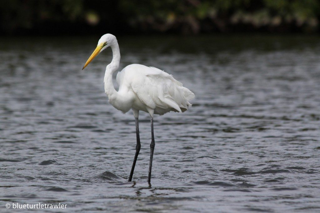 Great Egret standing on water
