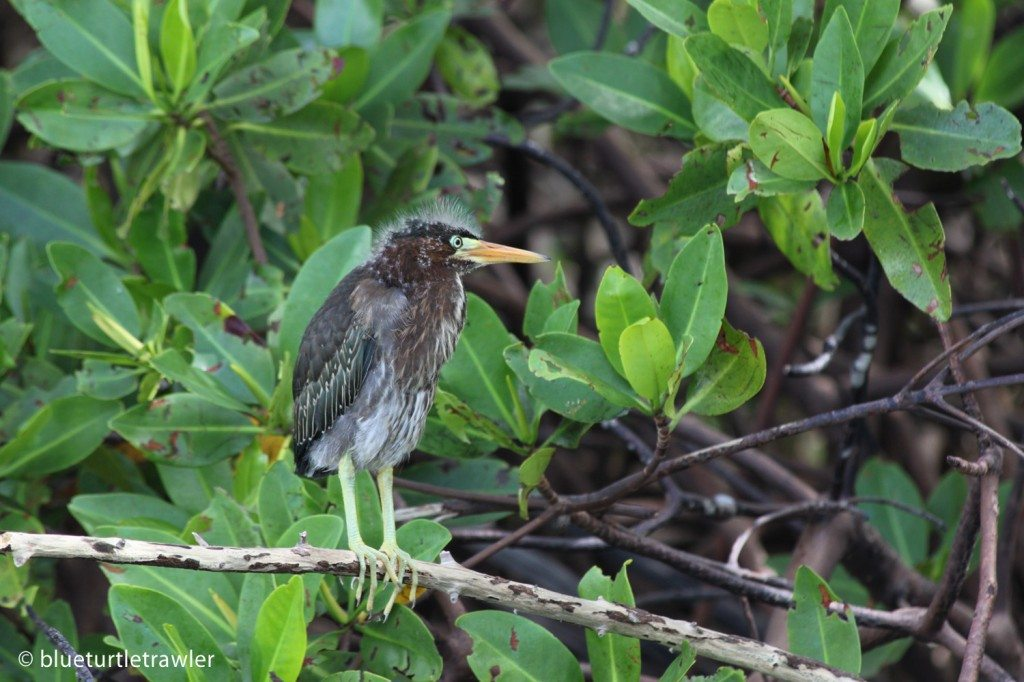 Green Back Heron