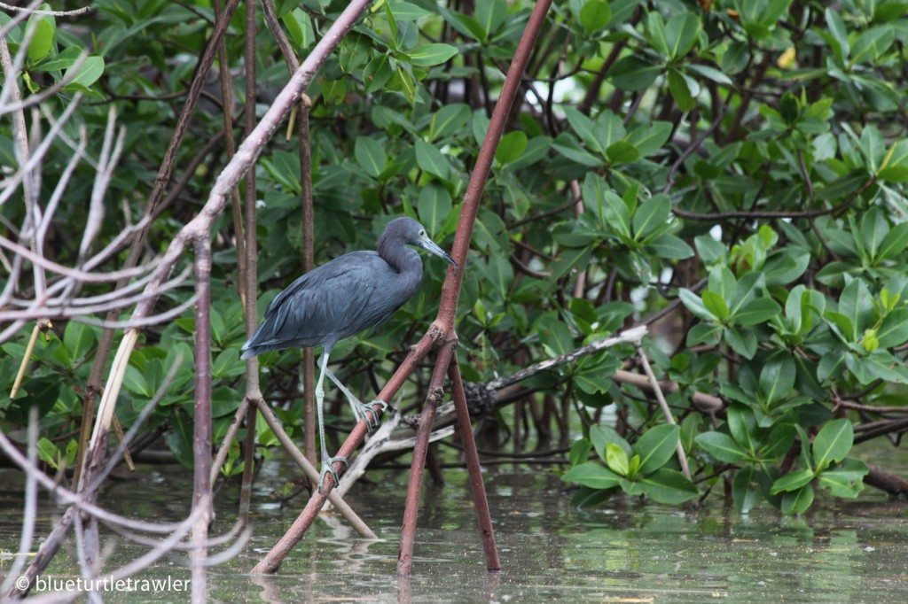 Little blue heron in the mangroves