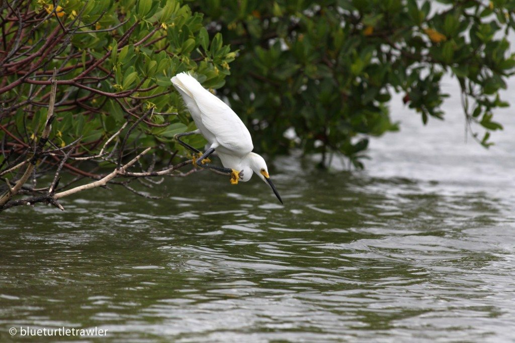 Snowy Egret leans toward the water