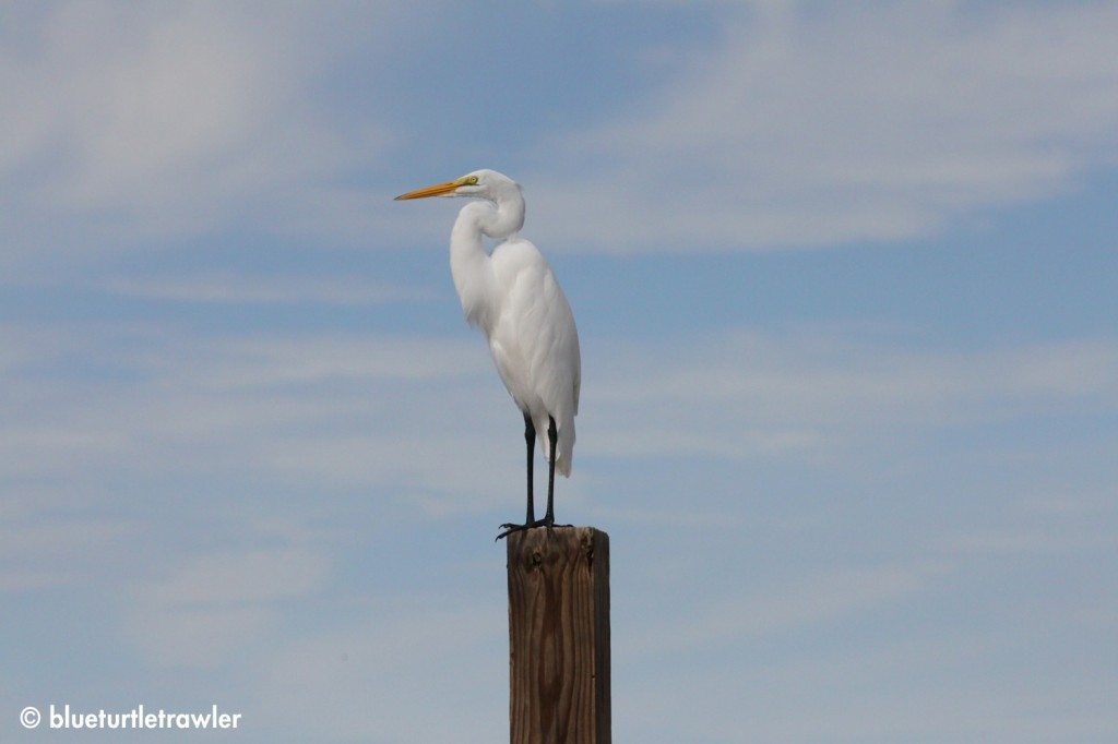 Great Egret posing on a post in Weeks Fish Camp
