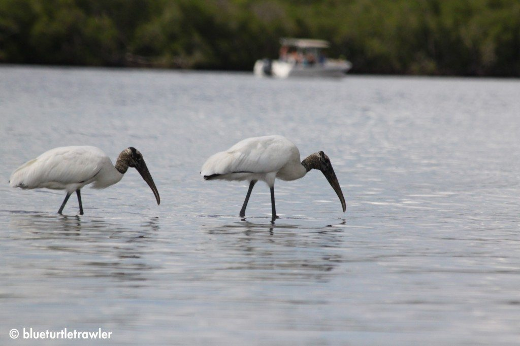 We encountered some Wood Storks in the grassflats