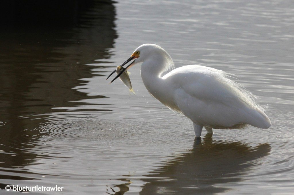 A Snow Egret with  a snack