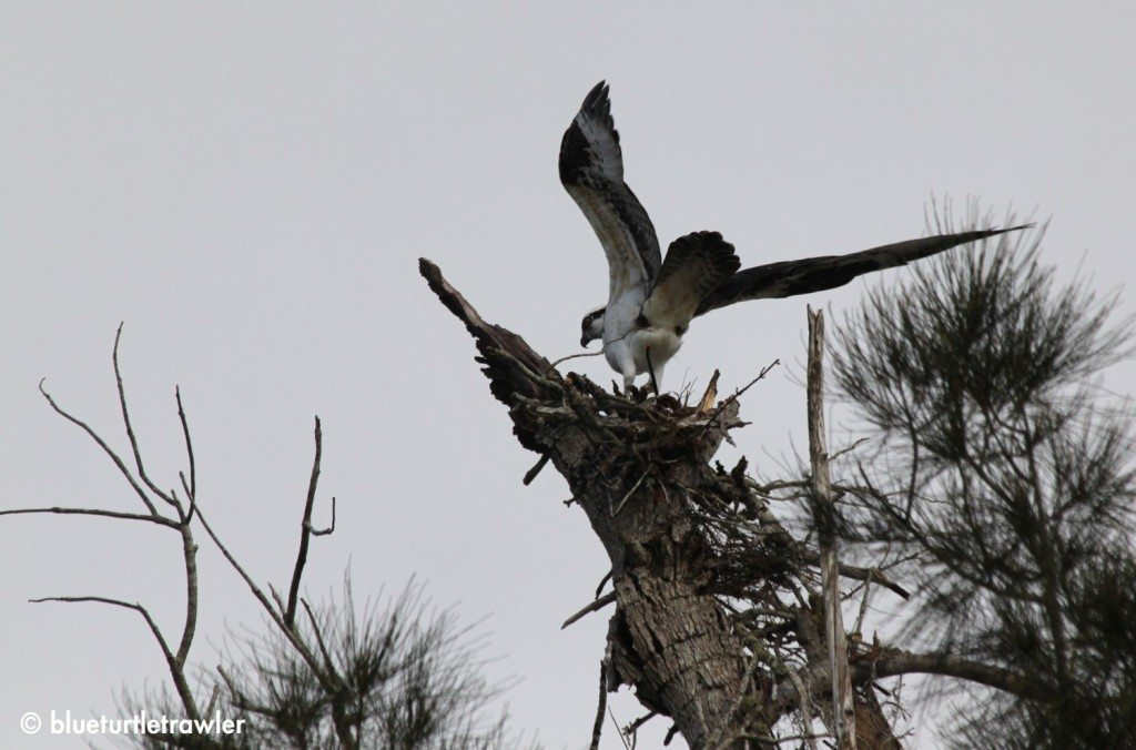 Osprey returns to it's nest