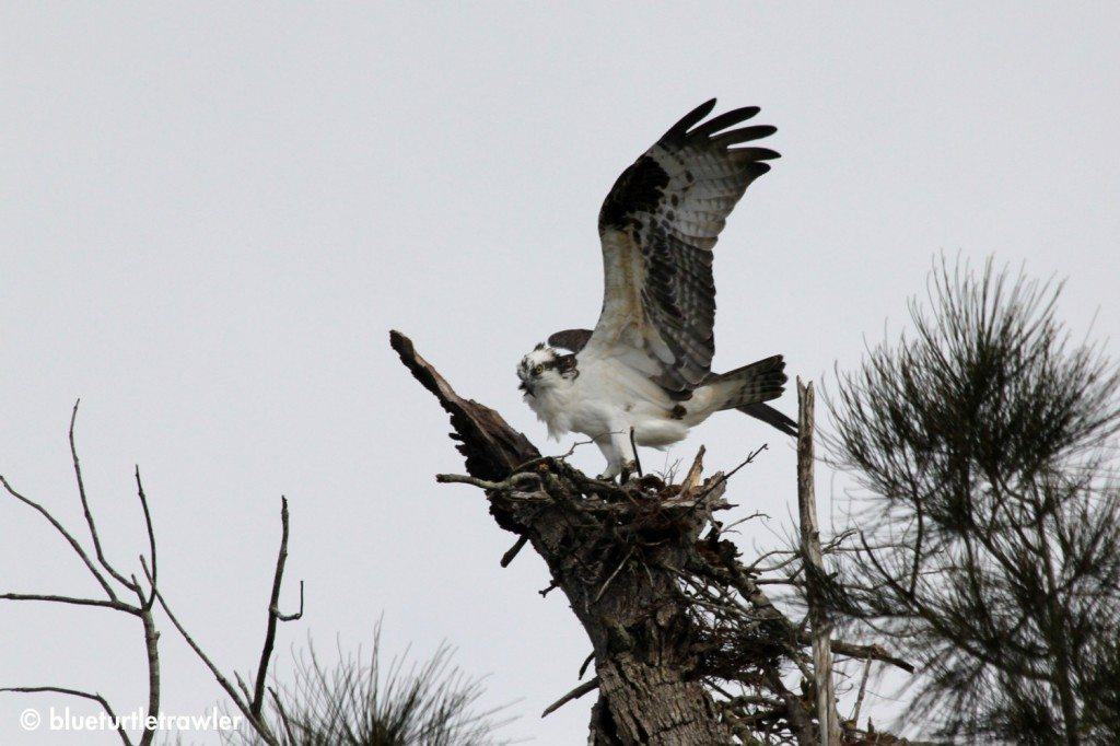 Osprey wing span