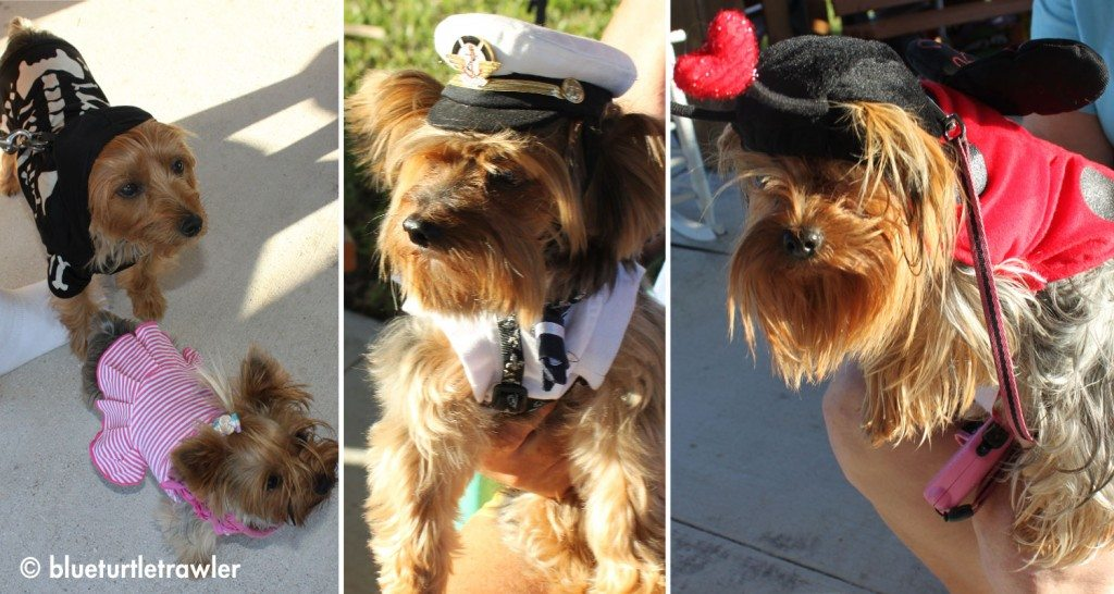 Yorkies and their costumes