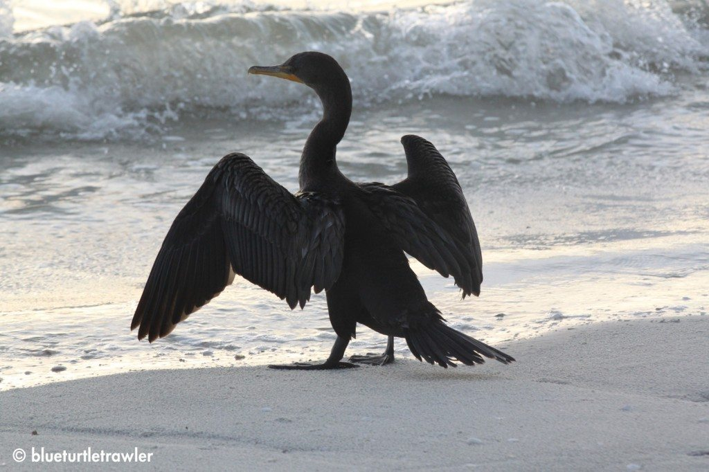 A Cormorant dries it's wings along the surf