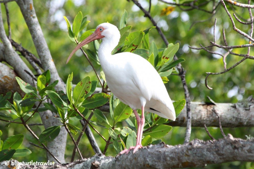 White Ibis in the mangroves