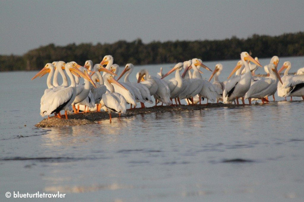 Group of White Pelicans on a sandbar