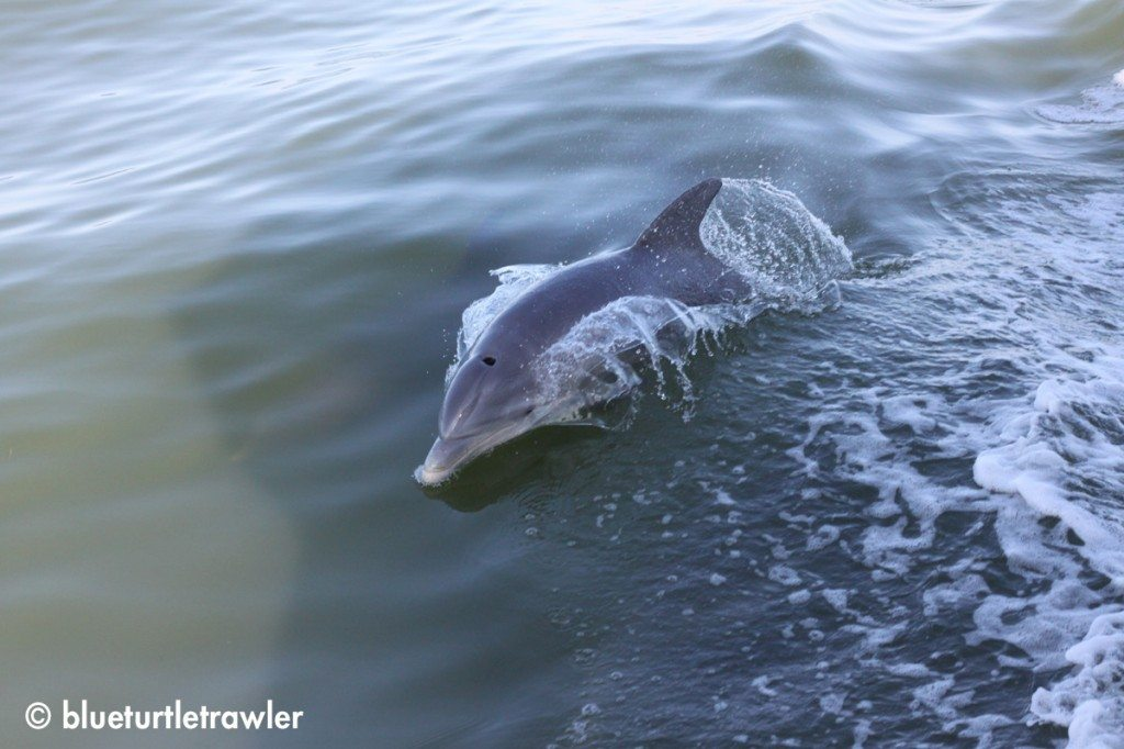 Dolphin riding our bow