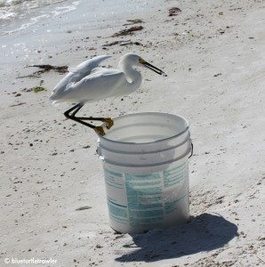 This snowy egret tried to steal bait fish every chance he got.