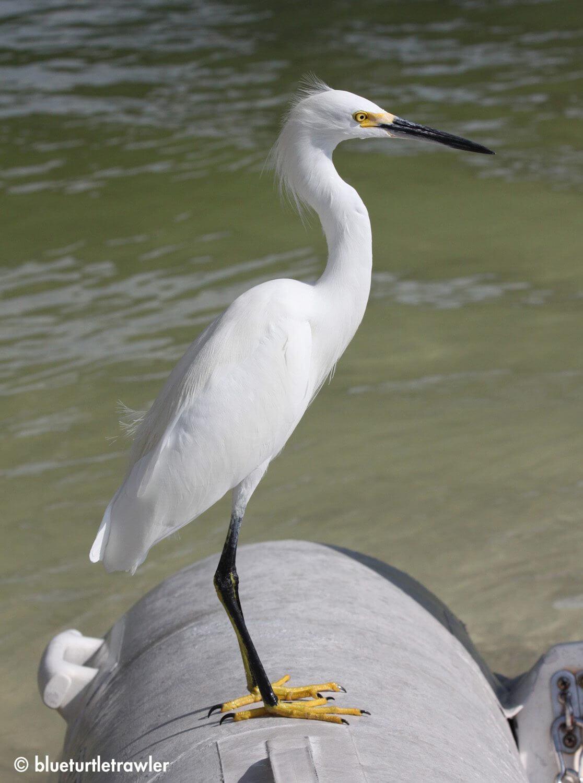"""Sophie"" (our 'pet' egret) gets brave and rests on our dinghy"