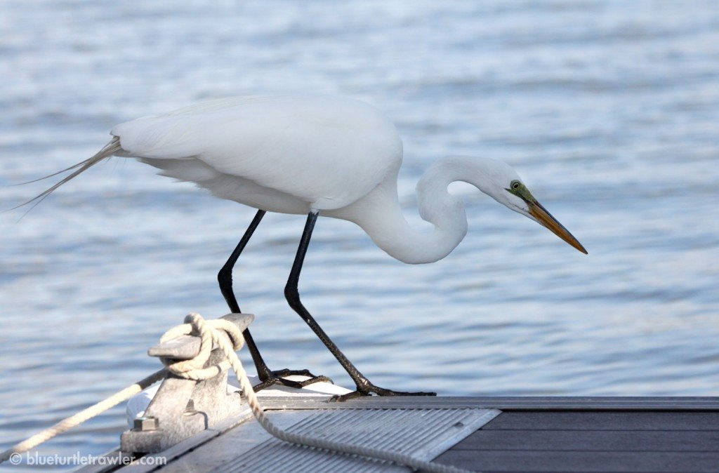 A Great Egret fishes off the docks
