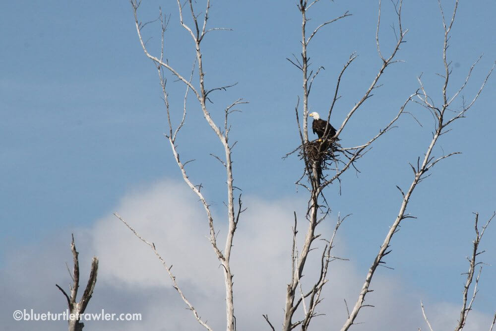 We saw this Bald Eagle a couple times throughout the weekend at Merwin Key