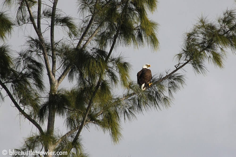 One of the Bald Eagles we saw near our boat