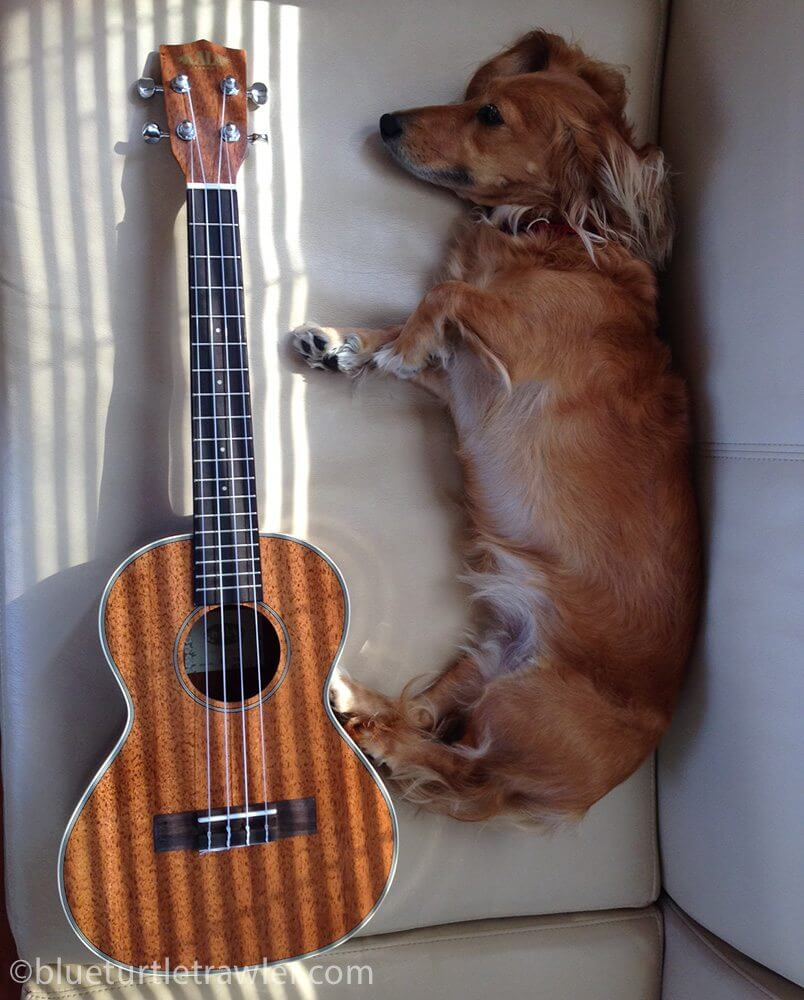 My wiener dog almost measures the same length as my new tenor uke