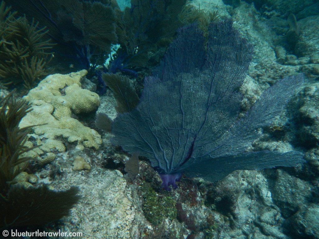 Another sea fan