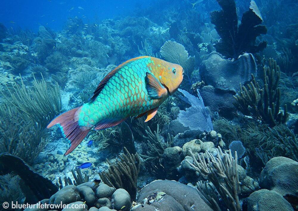 A colorful Parrotfish