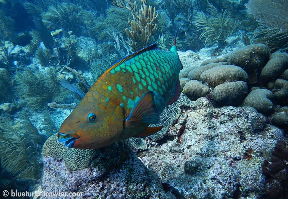 """Parrotfish giving me """"the eye"""""""