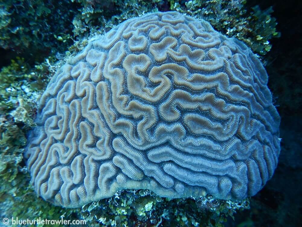 Brain coral that actually looks like a brain