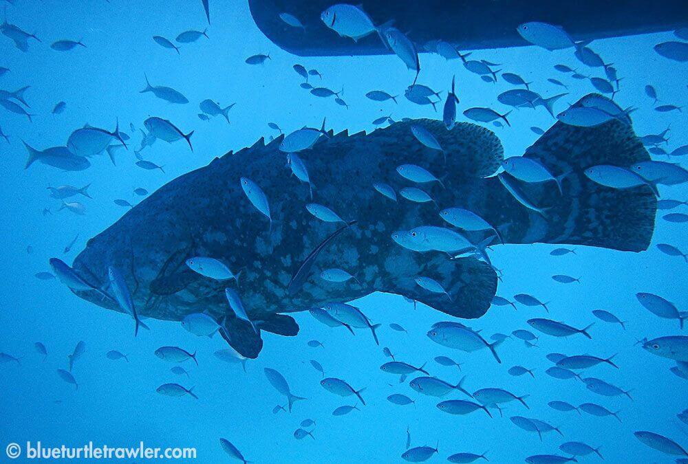 Melvin under Blue Turtle