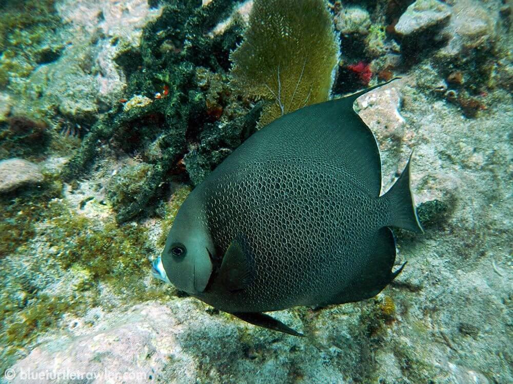 A grey angelfish