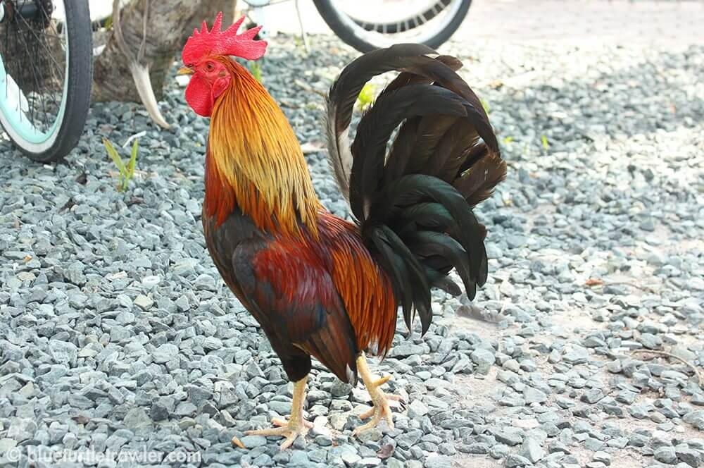 One of the few roaming roosters