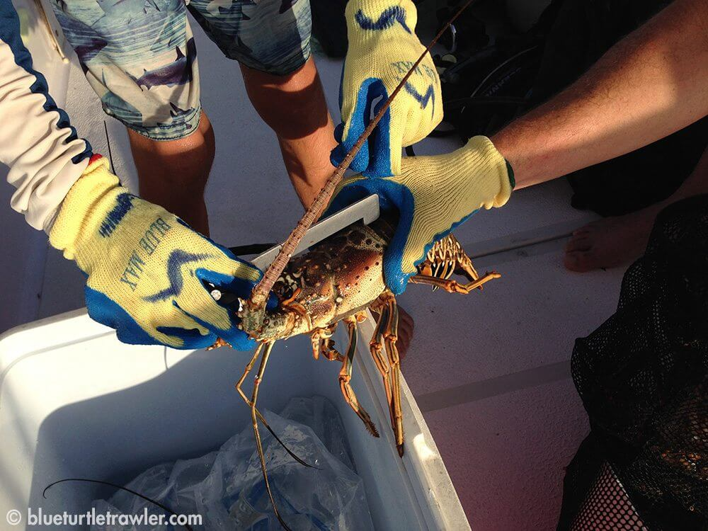 Measuring the lobster again on the boat