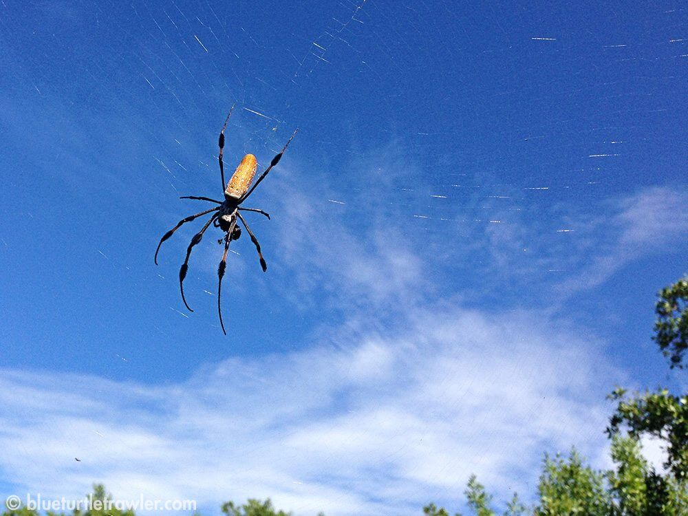 We saw several of these banana spiders throughout the island