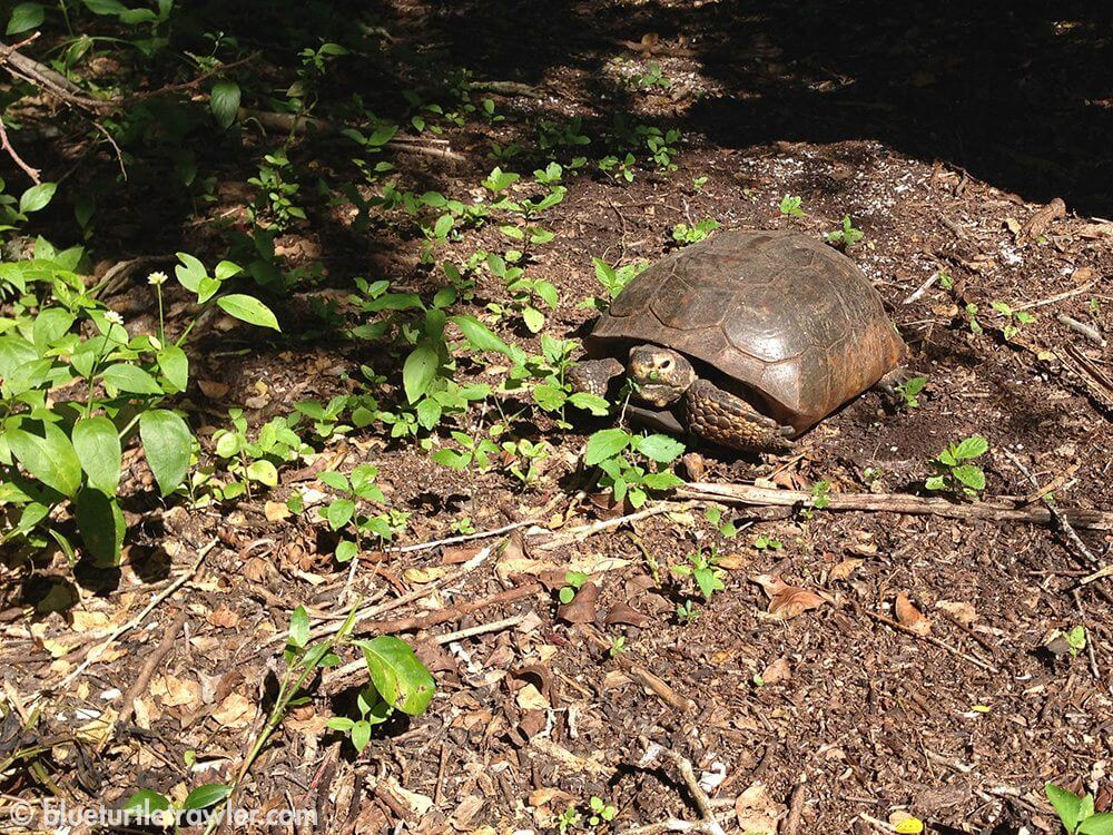 A shy but hungry gopher tortoise forages for food