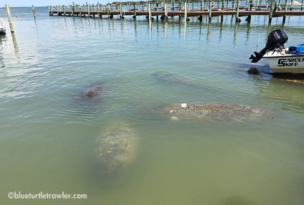 More manatee at Jenson's Marina
