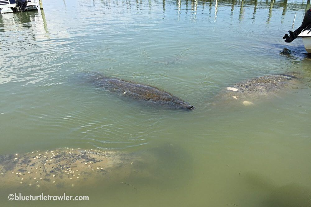 We counted 6 manatee total in this one spot. Must've liked the warm water.