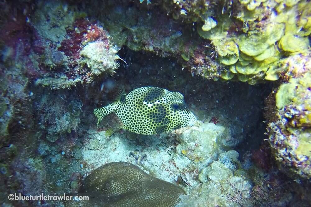 Very cool little Spotted Trunkfish