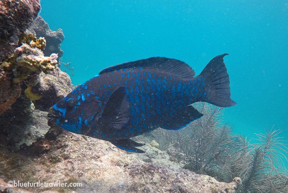 Midnight Parrot Fish