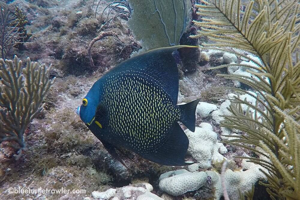 Another shot of a French Angelfish