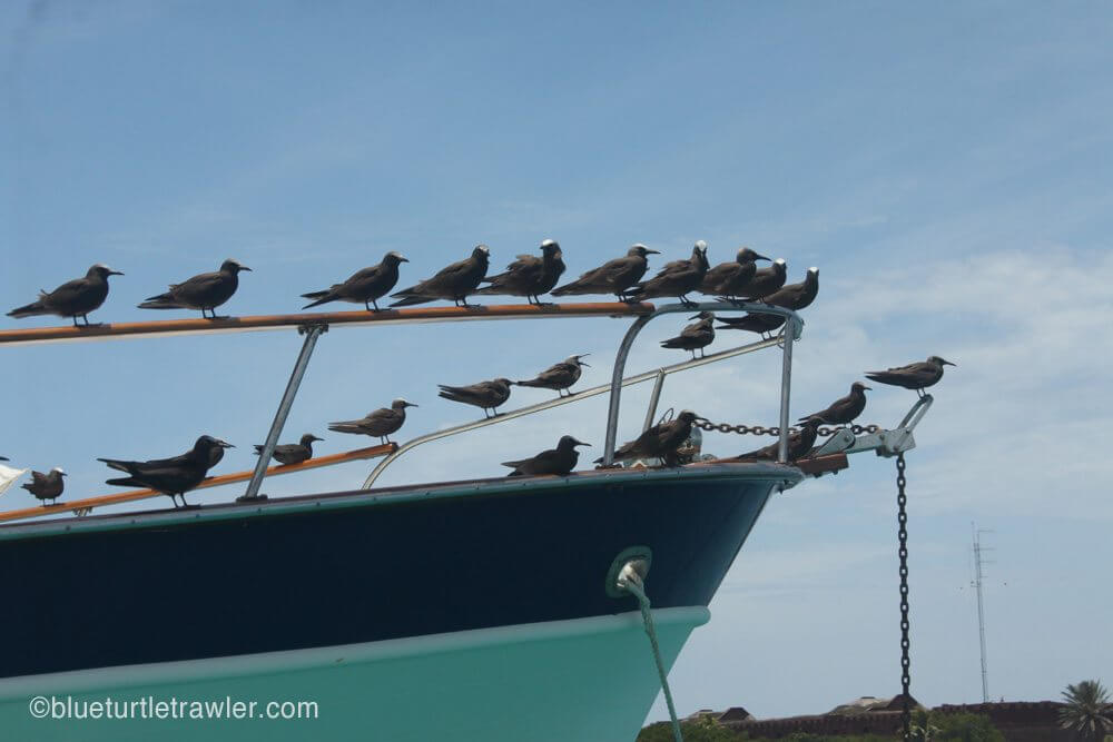 The Sooty Terns always seemed to find a perch on someone's boat...in this case ours while we were out on the dinghy.