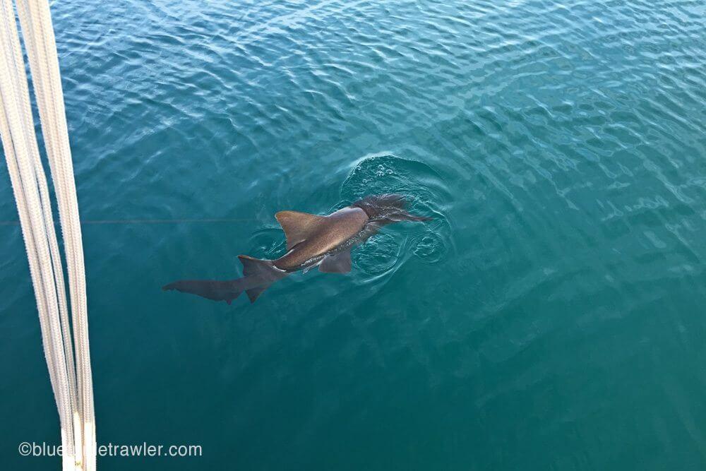 The nurse shark breaching the water