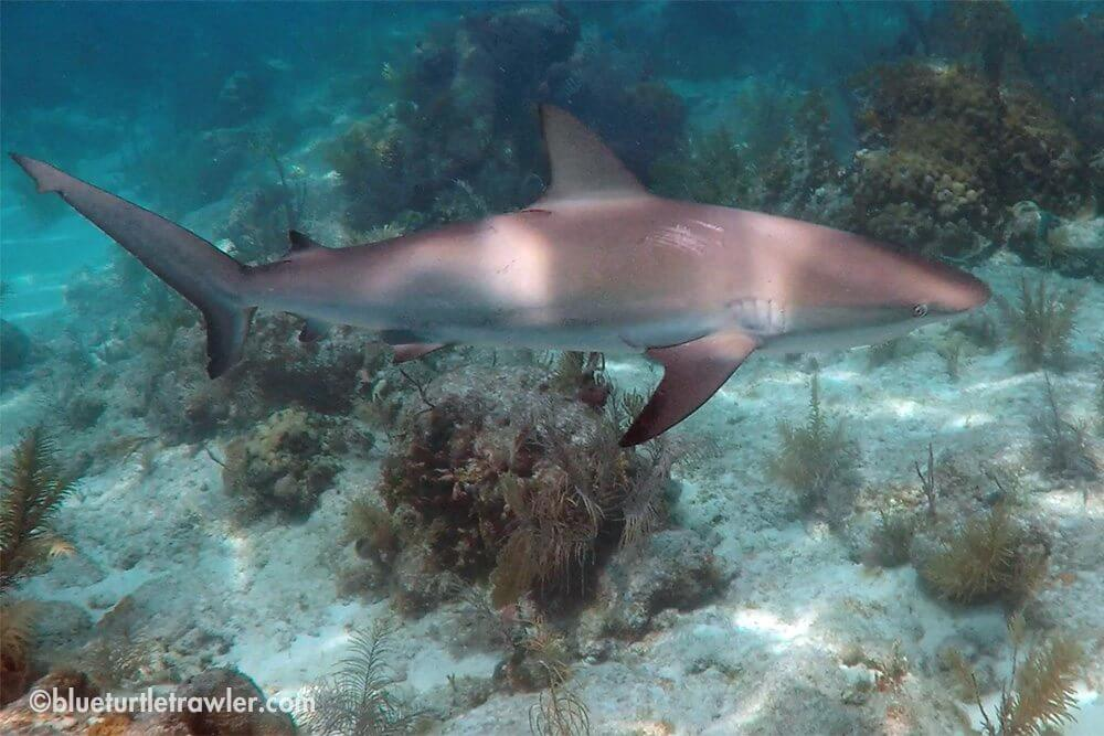 One of the reef sharks from  our Monday dive...video is coming!