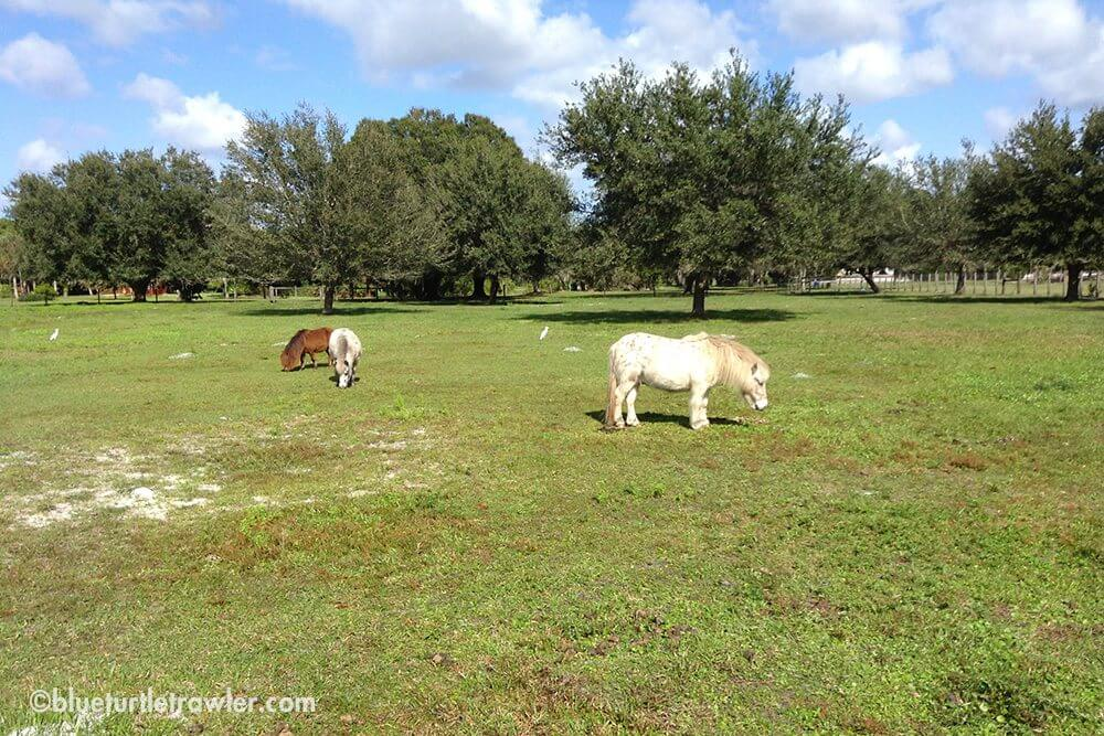 Miniature ponies we saw on the ride