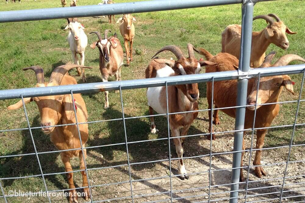 Goats wandering up the fence to say 'hi' (or hope to get food)