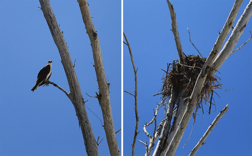 Osprey and nest that I spotted near the beach