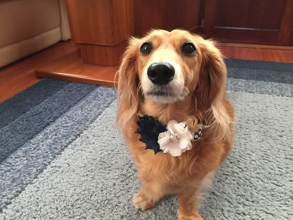 Sophie is ready for the wedding wearing her new collar