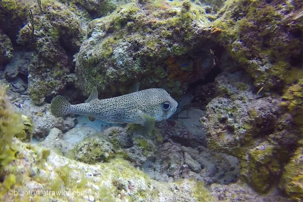 Porcupinefish, a.k.a. Pudgy fish