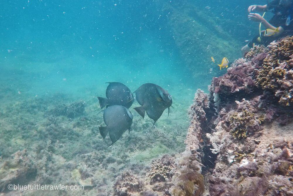 Several large angelfish were on this wreck