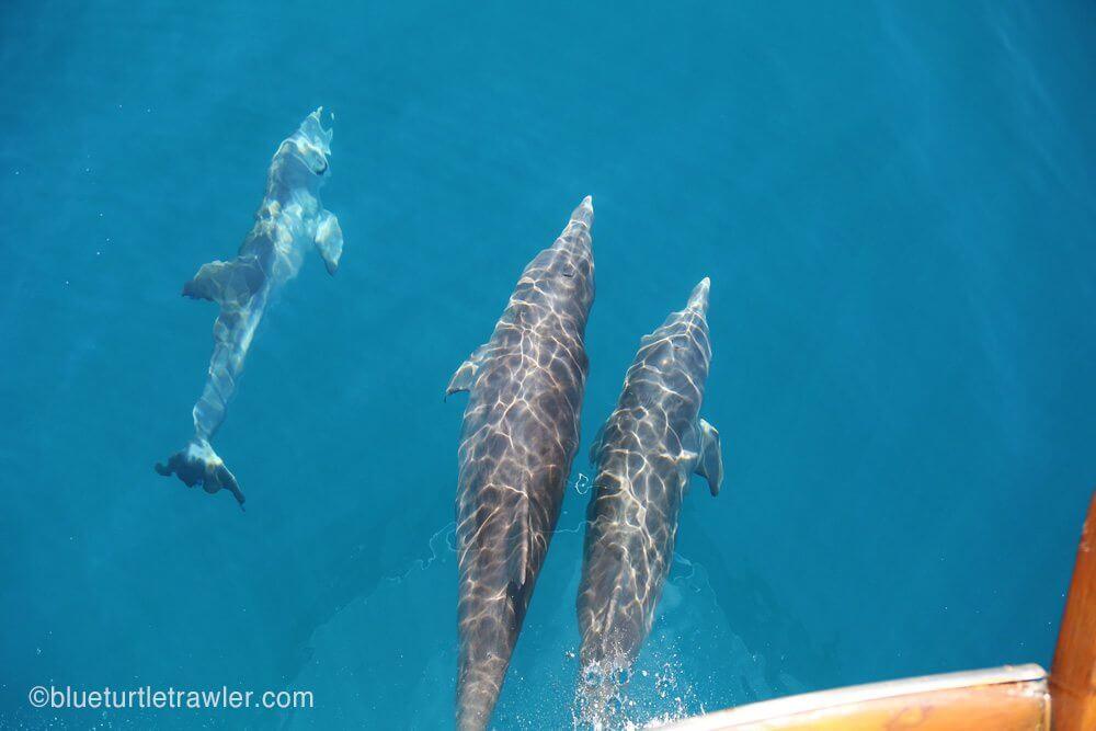 dolphin riding bow of trawler