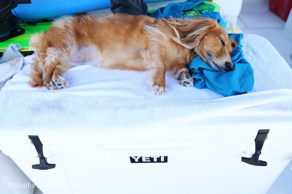 dachshund sleeping on Yeti cooler