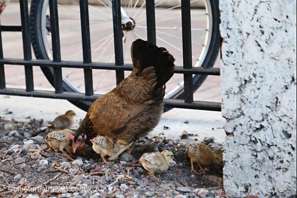 A mother hen and her babies just near El Meson de Pepe