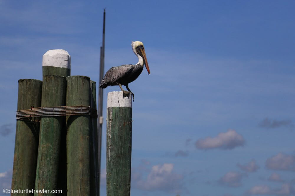 Pelican waiting for the battle as well