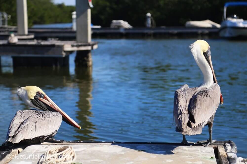 Salty Pelicans